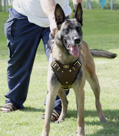 tracking/pulling/agitation/attack leather dog harness