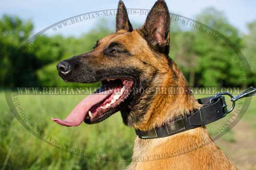 Exlusive Malinois Leather Collar
