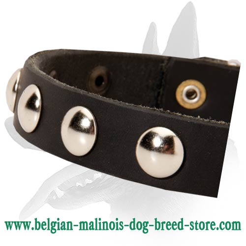 Belgian Malinois leather collar nickel covered