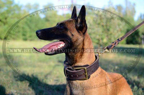 Belgian Malinois leather everyday collar
