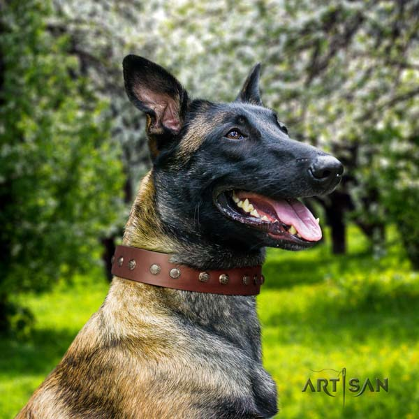 Belgian Malinois comfy wearing full grain genuine leather collar for your attractive dog