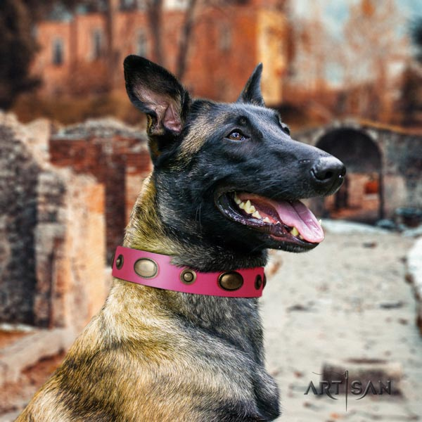 Belgian Malinois comfy wearing leather collar for your attractive four-legged friend