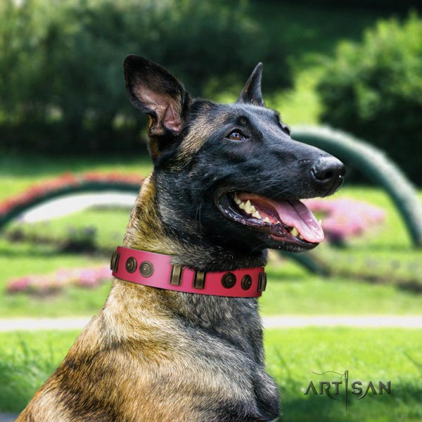Belgian Malinois comfortable wearing full grain natural leather collar for your impressive dog