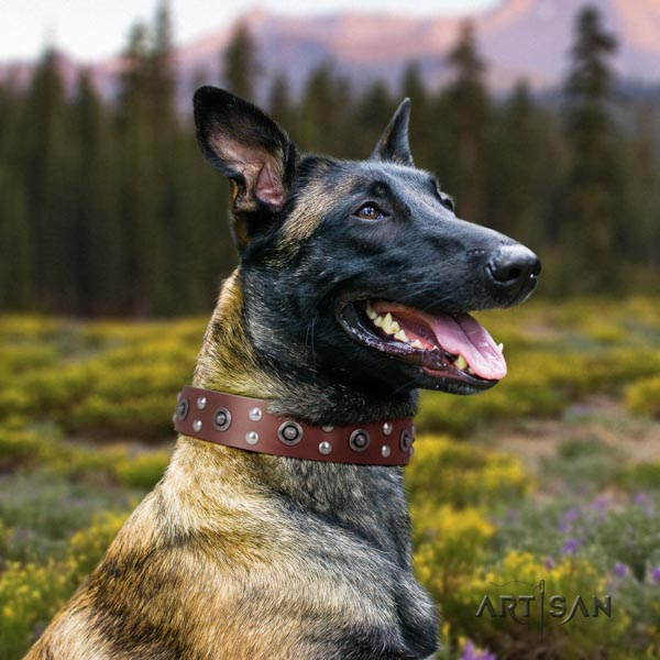 Belgian Malinois comfy wearing full grain genuine leather collar for your impressive four-legged friend