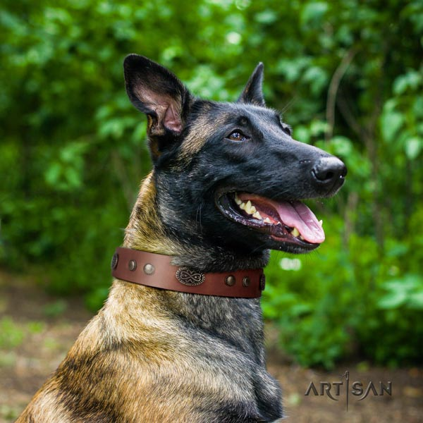 Belgian Malinois comfy wearing natural leather collar for your stylish dog