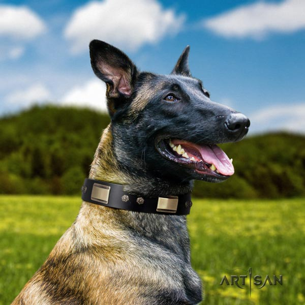 Belgian Malinois comfy wearing natural leather collar for your handsome canine