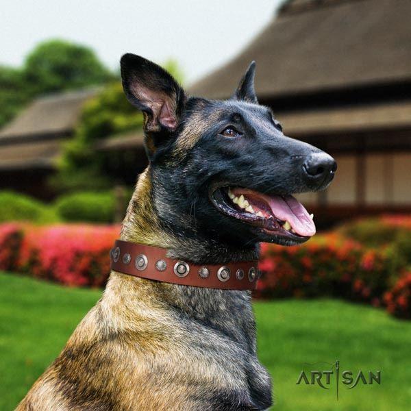 Belgian Malinois comfortable wearing genuine leather collar for your beautiful canine