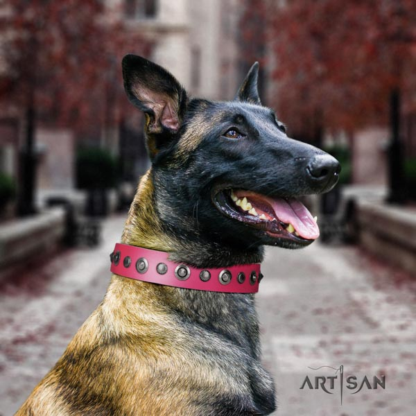 Belgian Malinois comfy wearing full grain leather collar for your lovely doggie