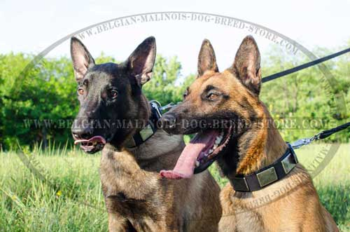 Belgian Malinois Decorated Leather and Nylon Collars