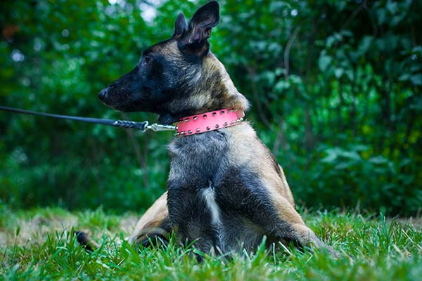 Belgian Malinois pink leather collar adjustable  adorned with spikes for quality control