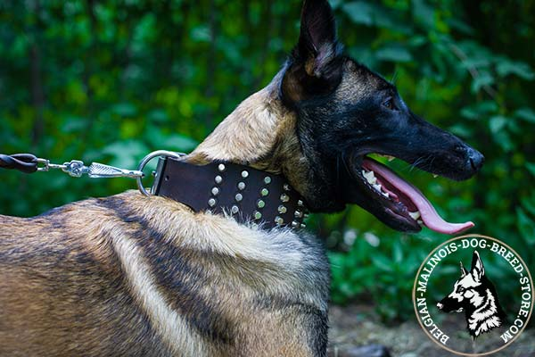 Belgian Malinois brown leather collar of classy design decorated with cones for stylish walks