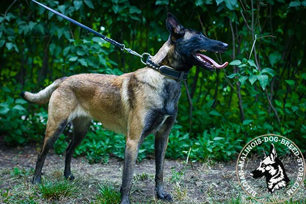 Belgian Malinois black leather collar padded with Nappa leather with handset adornment for daily walks