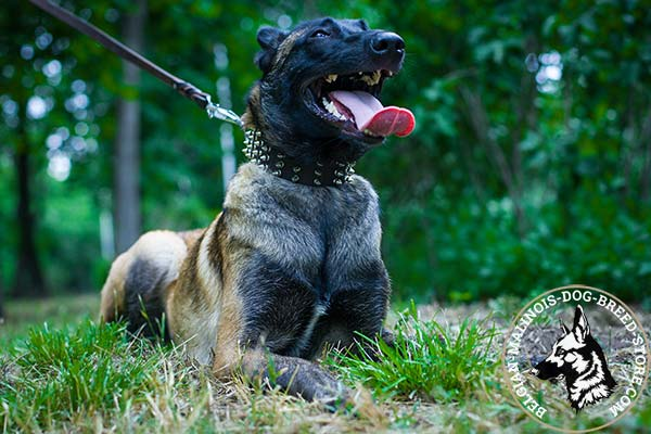 Belgian Malinois black leather collar easy-to-adjust adorned with spikes for daily activity
