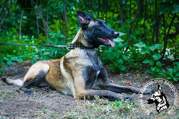 Belgian Malinois black leather collar easy-to-adjust adorned with half-balls and spikes for daily activity