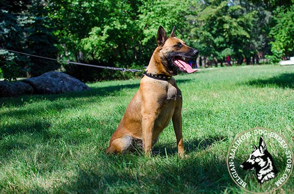 Belgian Malinois black leather collar of high quality decorated with cones for daily activity