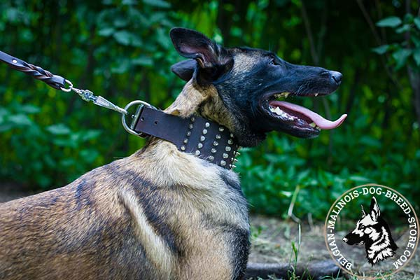Belgian Malinois brown leather collar extra wide adorned with spikes and studs  for walking in style