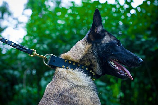 Belgian Malinois black leather collar with duly riveted spikes for any activity