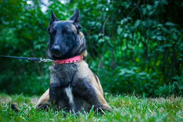 Belgian Malinois pink leather collar with duly riveted decorated with spikes for any activity