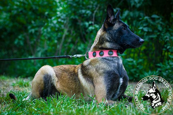Belgian Malinois pink leather collar of classy design with handset plates for better comfort