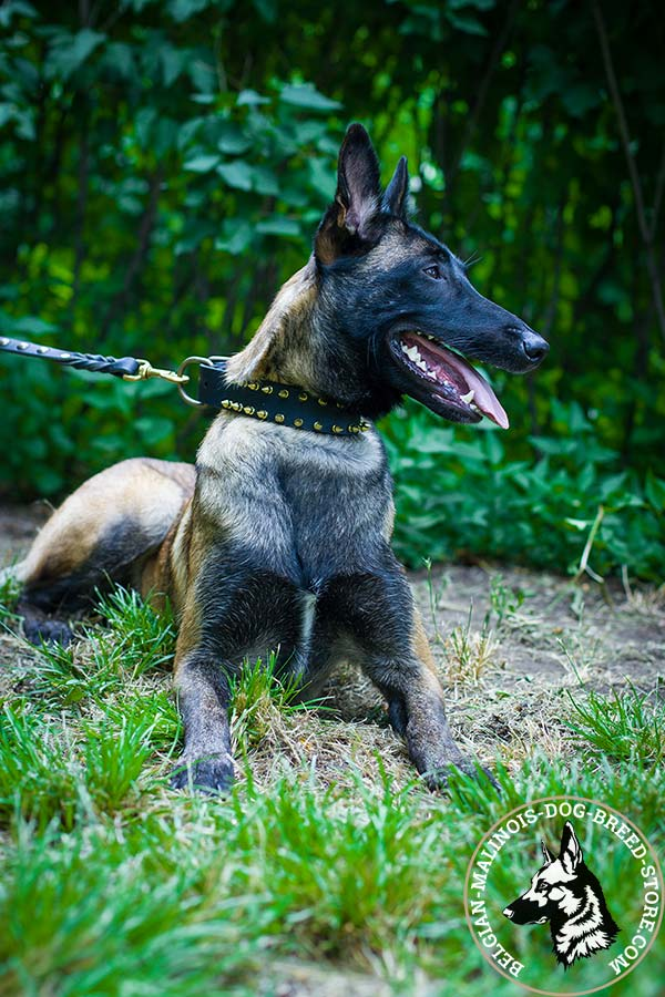 Belgian Malinois black leather collar of classy design decorated with spikes for basic training