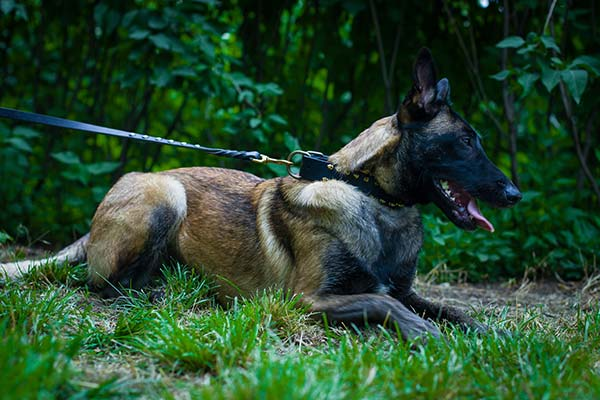 Belgian Malinois black leather collar of classy design with handset spikes for basic training