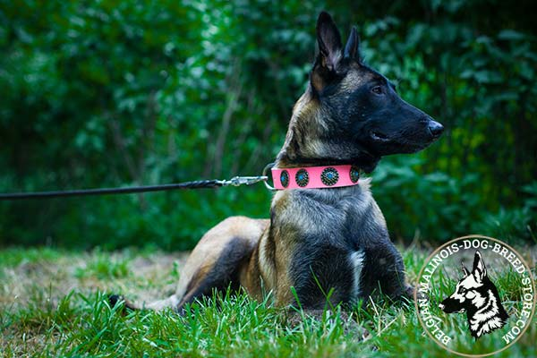 Belgian Malinois pink leather collar snugly fitted with plates for daily walks