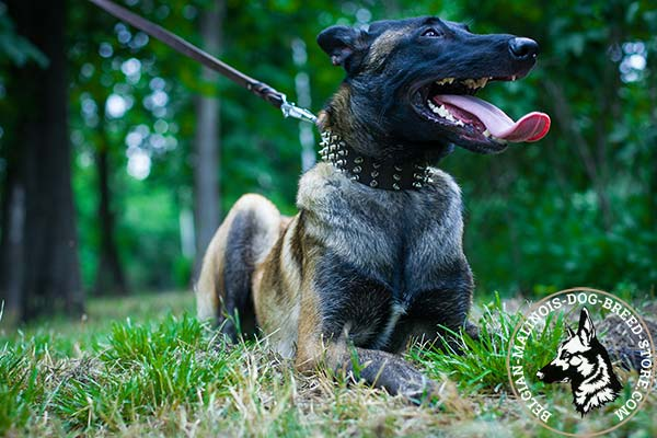 Belgian Malinois leather collar with elegant with handset spikes for daily walks