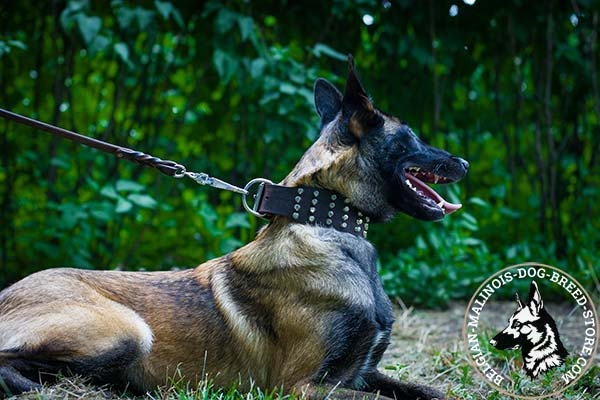 Belgian Malinois brown leather collar wide with cones placed in row for better comfort