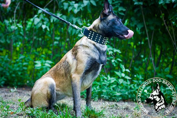 Belgian Malinois black leather collar extra wide with nickel plated hardware for quality control