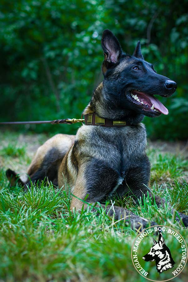 Belgian Malinois brown leather collar of classic design with handset plates for any activity