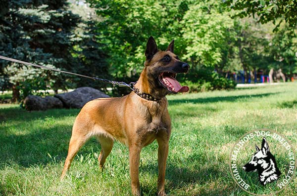 Belgian Malinois brown leather collar of high quality with handset adornment for walking