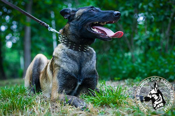Belgian Malinois leather collar of genuine materials decorated with spikes for stylish walks