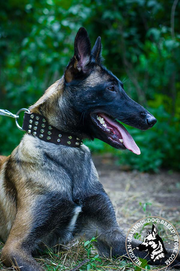 Belgian Malinois brown leather collar extra wide with cones set in row for perfect control