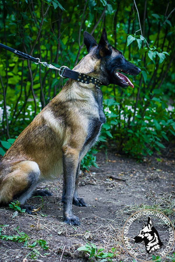 Belgian Malinois black leather collar adjustable  with handset adornment for walking in style