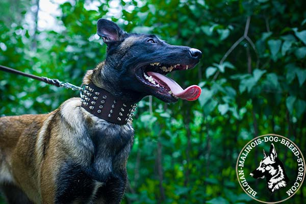Belgian Malinois brown leather collar wide decorated with spikes for basic training