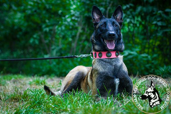 Belgian Malinois pink leather collar for snug fit adorned with plates for walking