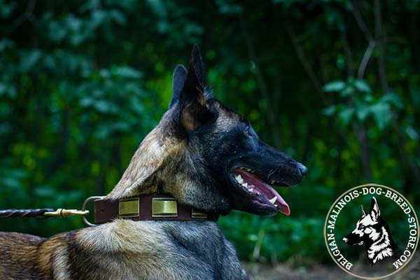 Belgian Malinois brown leather collar of genuine materials adorned with plates for daily walks