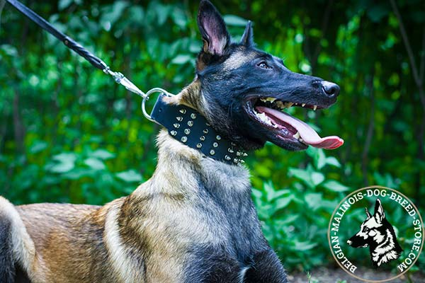 Belgian Malinois leather collar wide with d-ring for leash attachment for better comfort