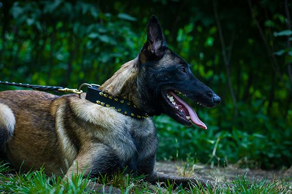 Belgian Malinois black leather collar of genuine materials adorned with spikes for basic training