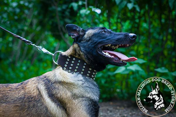Belgian Malinois brown leather collar of high quality with cones for walking
