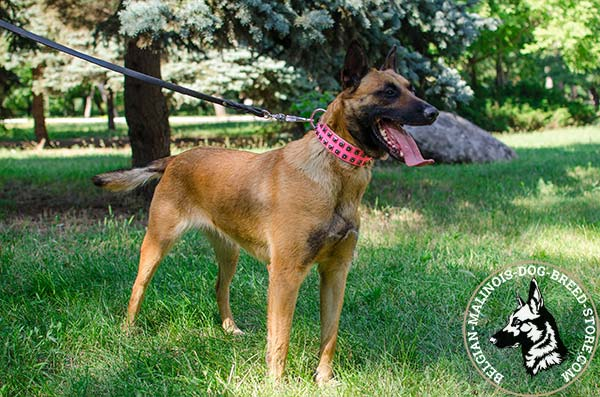 Belgian Malinois pink leather collar of classy design with studs for daily walks
