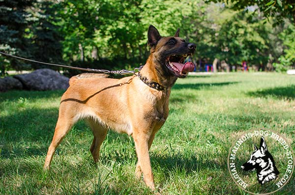 Belgian Malinois brown leather collar snugly fitted with d-ring for leash attachment for daily walks