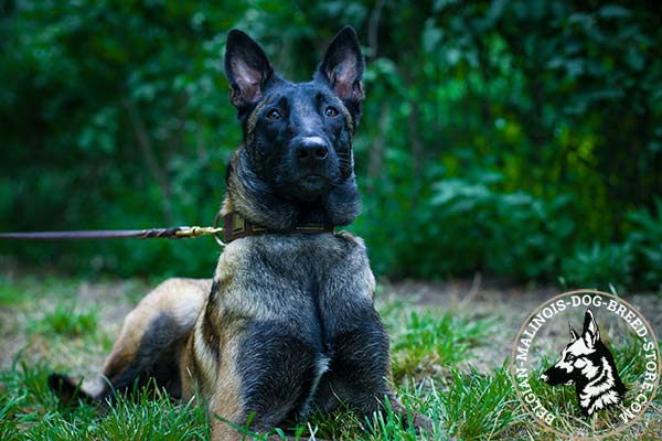 Belgian Malinois brown leather collar of high quality decorated with plates for walking
