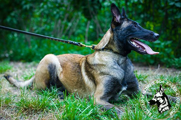 Belgian Malinois black leather collar with vintage with handset half-balls for daily walks