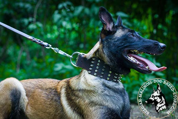 Belgian Malinois brown leather collar wide decorated with spikes and studs  for daily walks