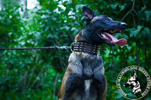 Belgian Malinois brown leather collar of high quality spiked for improved control