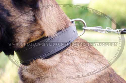 Belgian Malinois Leather Collar with Nickel Plated D-ring