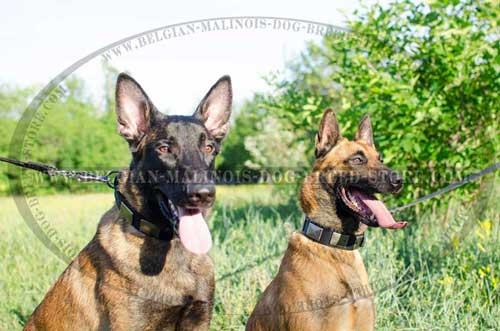 Malinois Decorated Leather and Nylon Collars
