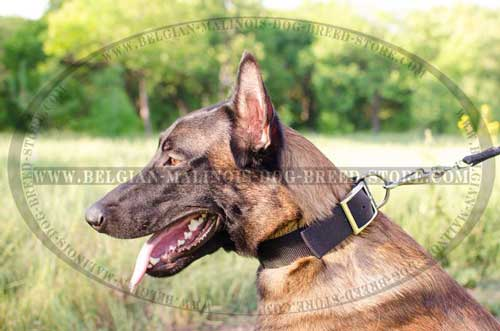 Nylon Collar with Name Tag for Belgian Malinois