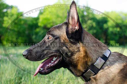 Malinois Decorated with Plates Leather Collar